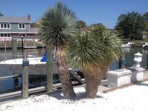 Yuuca Rostrata Palm Tree