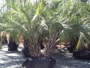 Palm Tree Jelly