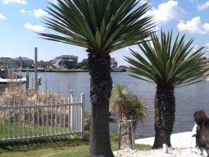 Palm tree yucca