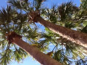 Cabbage (Sabal) Palm Tree