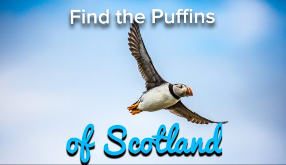 Isle of mull puffins