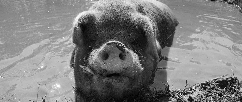 PIG History Bw