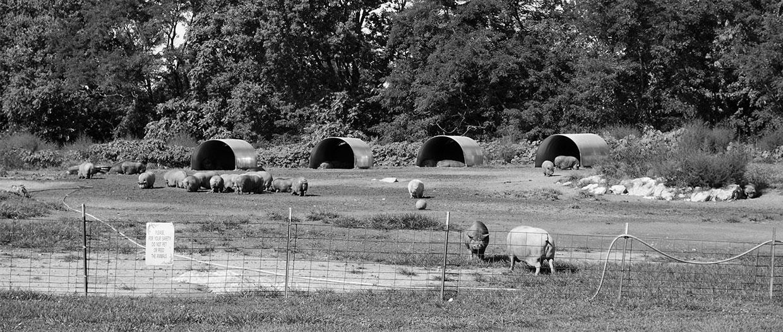 Pig Sanctuary BW