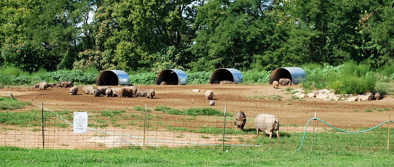 Pigs Sanctuary Color