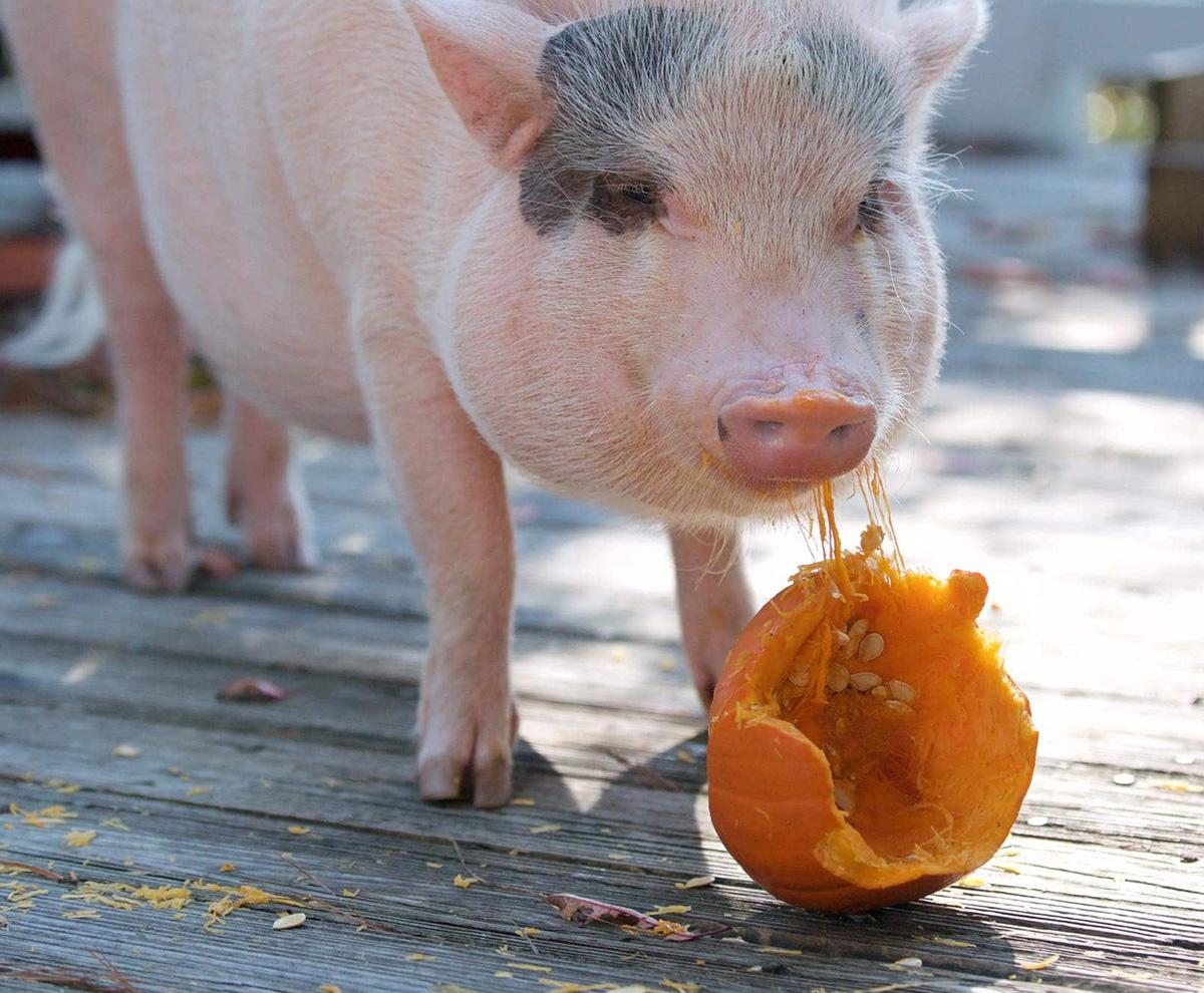 Pig-Pumpkin