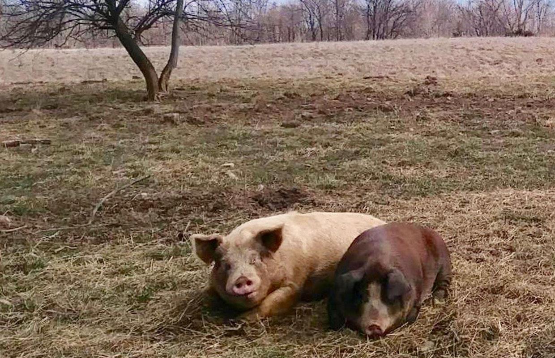 Pig-resources-2
