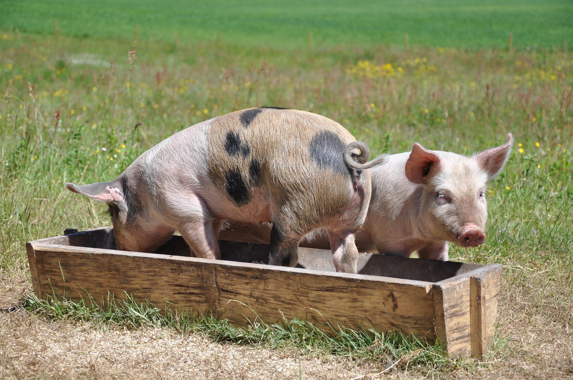pigs-662001_1920 (1)