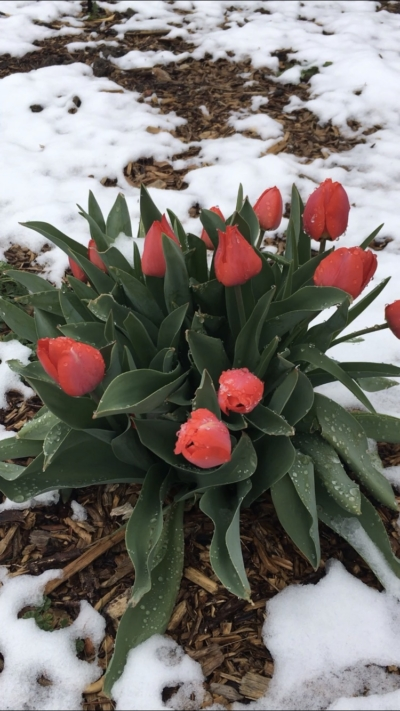 Red Tulip Bunch in Snow