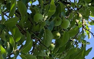 lughnasadh, Wine sap Apples, D. Malcom Wells