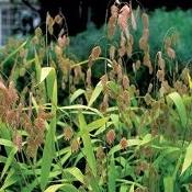 Chasmanthium latifolium, Northern sea oats, Native Grass Plug