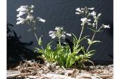 Penstemon hirsutus, Hairy beardtongue, Native Perennial Wildflowers
