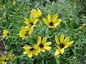 Coreopsis tripteris, Tall coreopsis, Native Perennial Wildflower