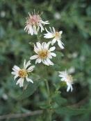 Symphyotrichum lateriflorum, Calico aster, Native Perennial Wildflower