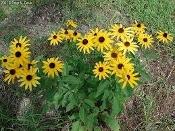 Rudbeckia subtomentosa: Sweet Black Eyed Susan NEW! Native Perennial Wildflower