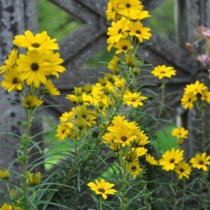 Helianthus angustifolius, Swamp Sunflower, Native Perennial Wildflower
