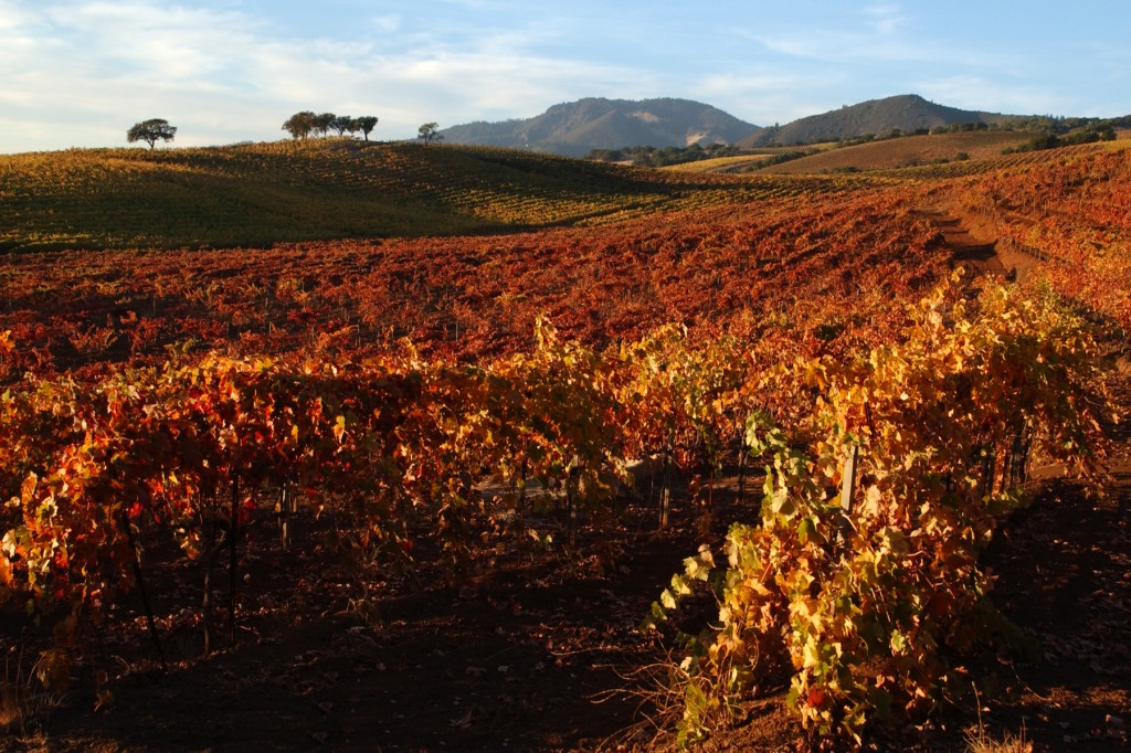 Sonoma Valley Vines in Fall