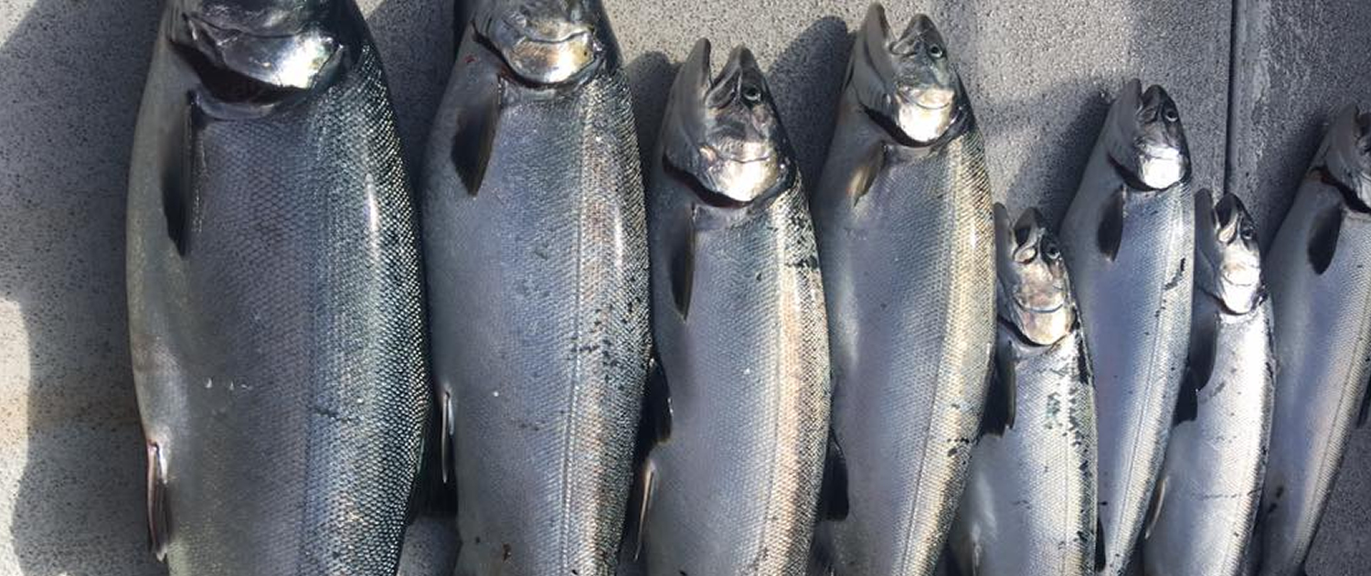 Seattle Fishing Coho Salmon
