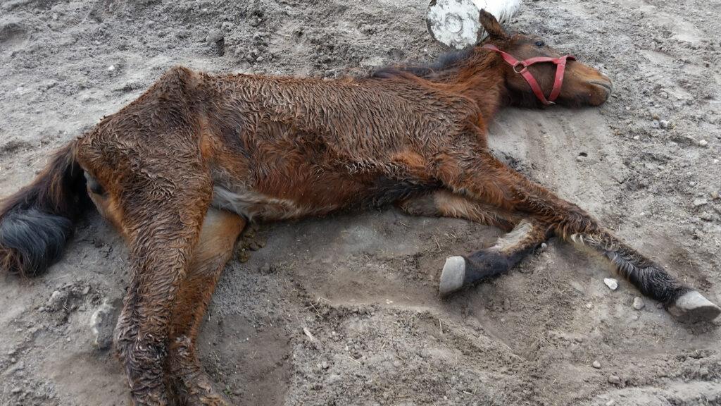 Amazing Grace South Florida SPCA Rescue Pony Palm Beach Equine Clinic