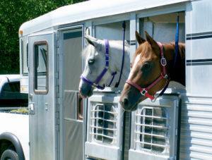 Shipping fever - horses in trailer