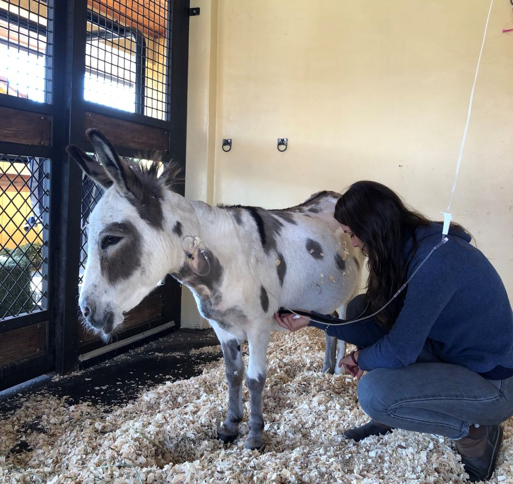 Madison Donkey Success Story Palm Beach Equine Clinic Abby Berzas success story equine hospital