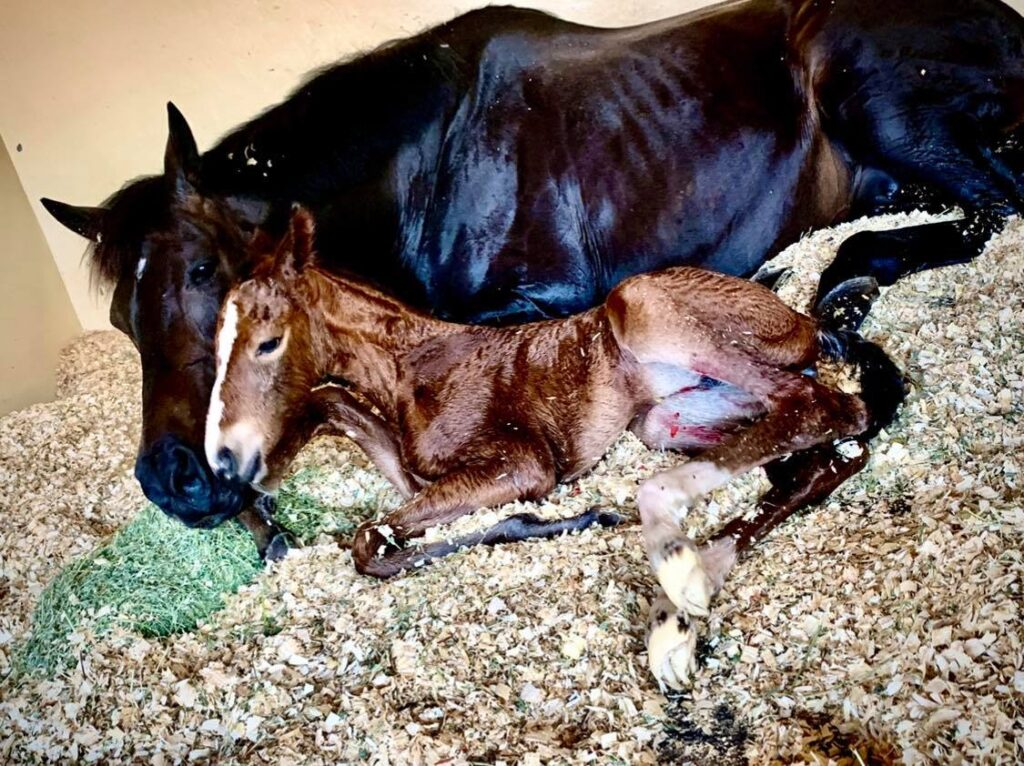 Embryo transfer surrogate mare giving birth at Palm Beach Equine Clinic