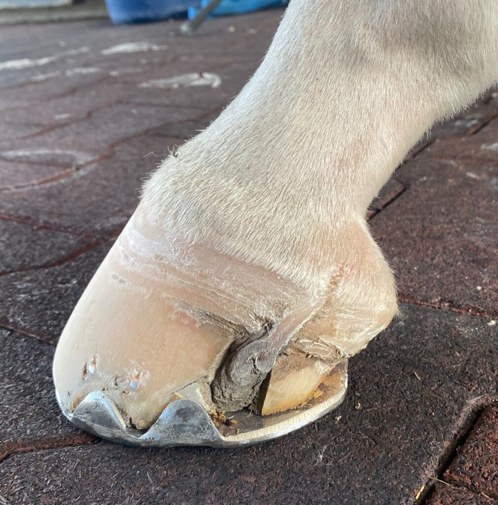 Blue Melody's hoof laceration healed well.