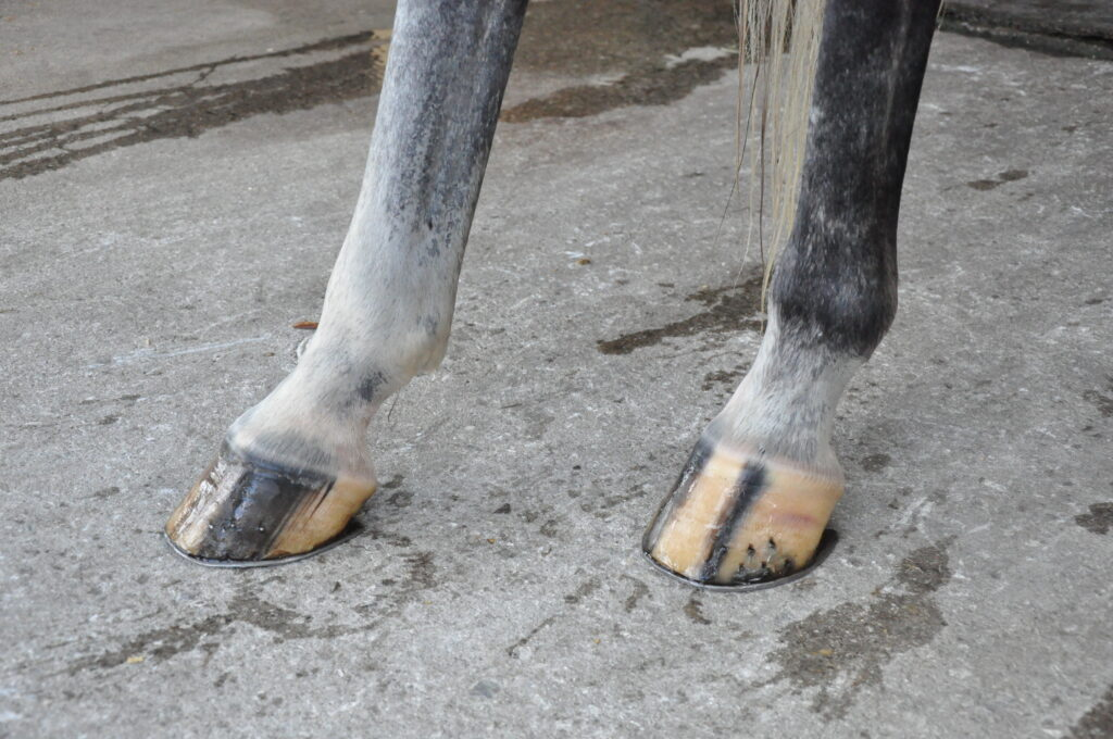 tips for keeping hooves strong through the summer from Dr. Stephen O'Grady at Palm Beach Equine Clinic - summer hoof health