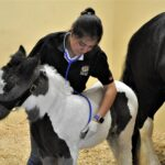 foal with patent urachus being examined by Dr. Clarisa Romero