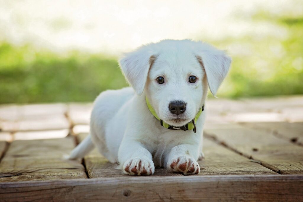 White puppy to illustrate how to train your puppy
