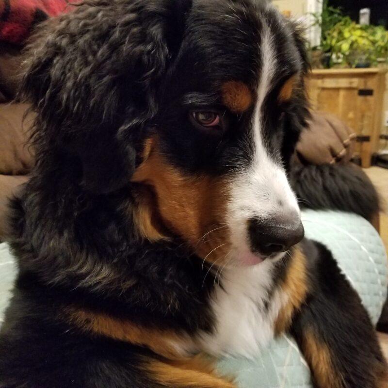 Bear the Bernese Mountain Dog