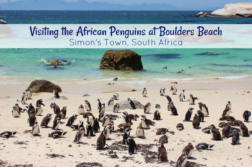 Visiting African Pengins at Boulders Beach in Simon's Town, South Africa by JetSettingFools.com