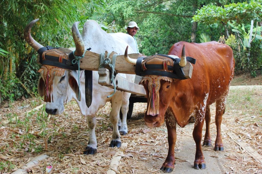 Pavones, Costa Rica Ox Pulling Cart JetSetting Fools