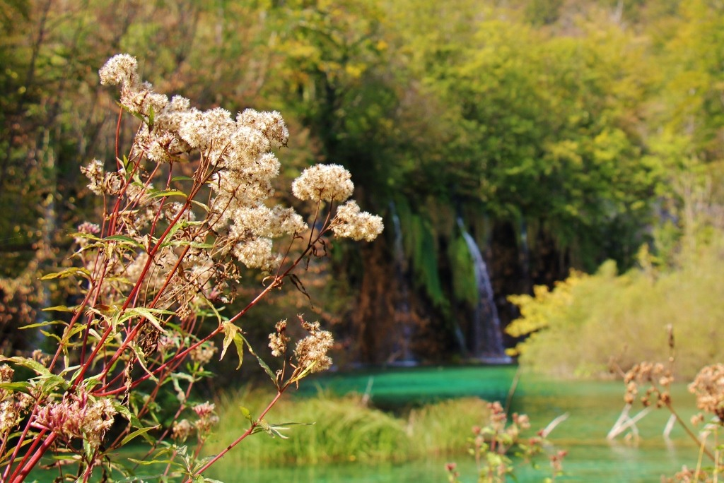 Autumn flowers and waterfalls, Upper Lakes, Plitvice Lakes National Park, Croatia