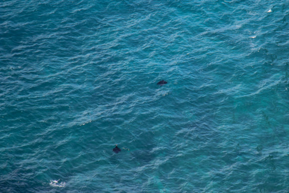 Manta Rays swim in bay by Kelingking Beach, Nusa Penida, Bali, Indonesia
