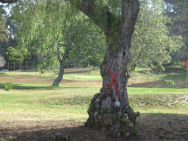 An Old Town pepper tree targeted for removal (Photo by Dave Schwab)