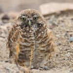 Wildwatch Burrowing Owl invites the public to help with wildlife research