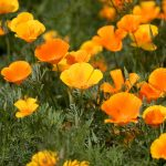 Using wildflowers in your San Diego landscaping