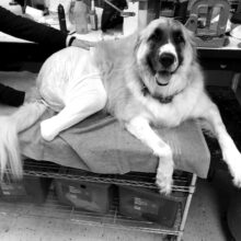 Long Island Orthotics & Prosthetics Dog Patient