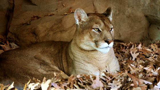 My first dream about a mountain lion.