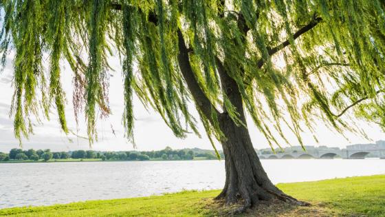 Willow Tree   Totem   Reiki