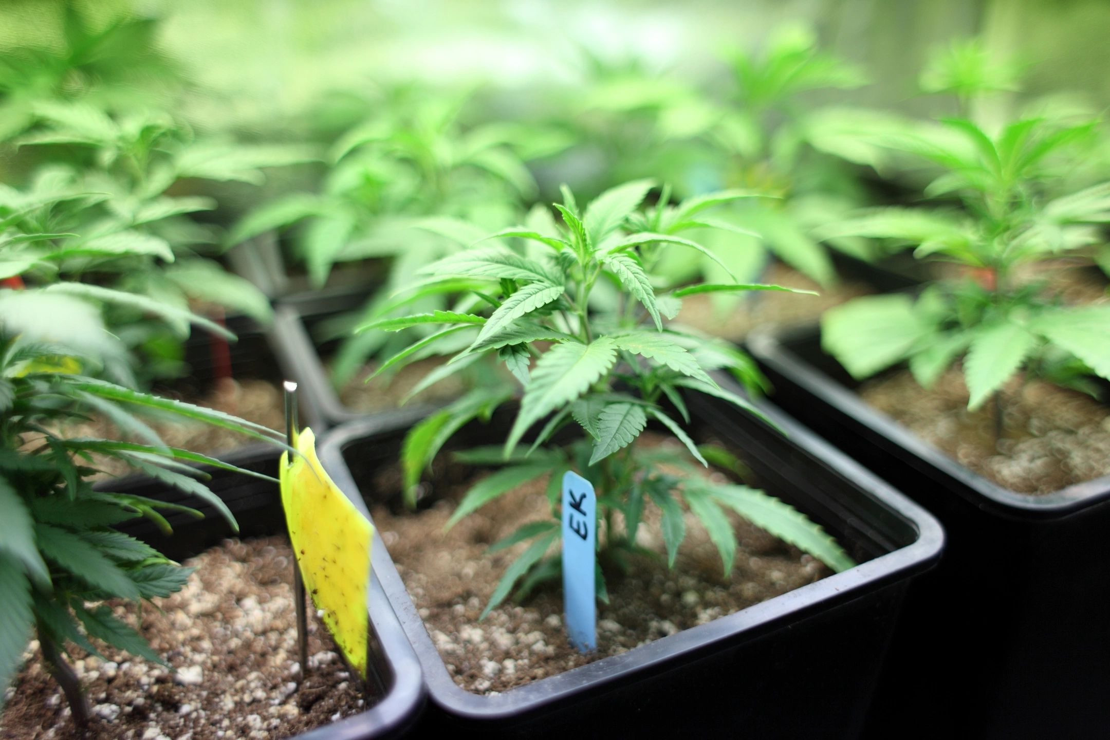 99 Plant Grow License San Francisco