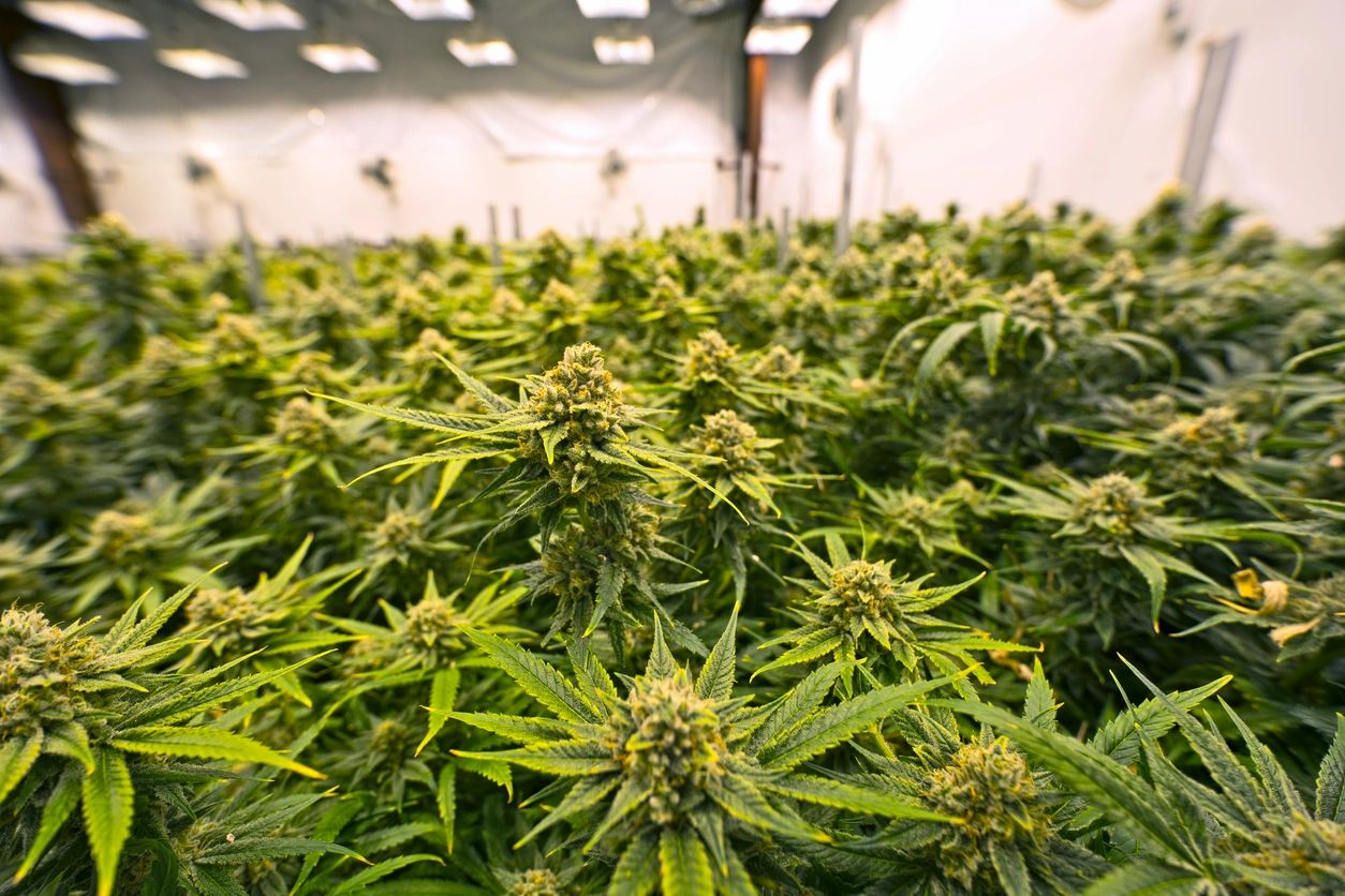 Cannabis Clinics Hollywood Los Angeles