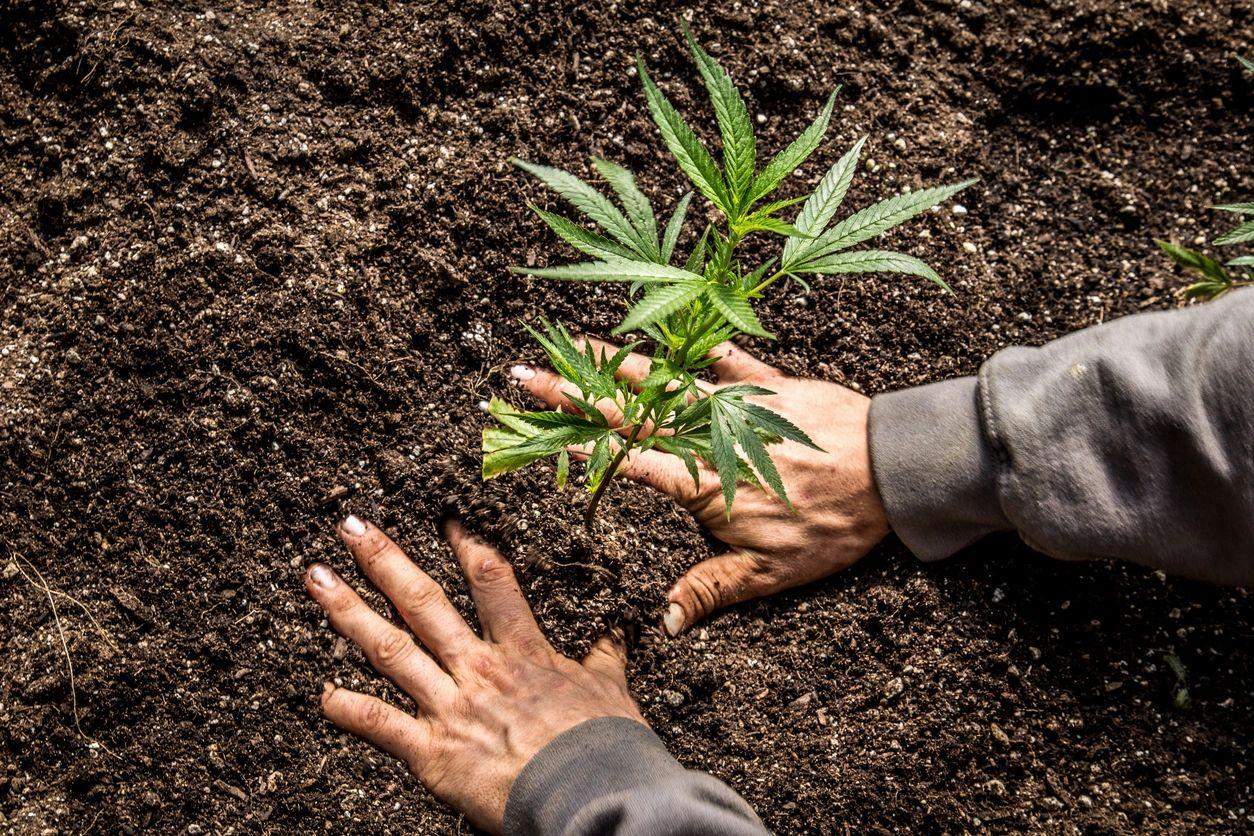 Medical Marijuana Growing License Los Angeles California