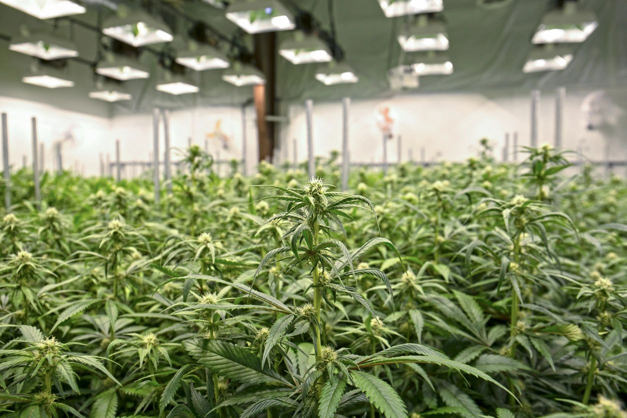 Medical Marijuana Growing License California