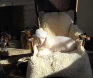 Poodle In Sunshine
