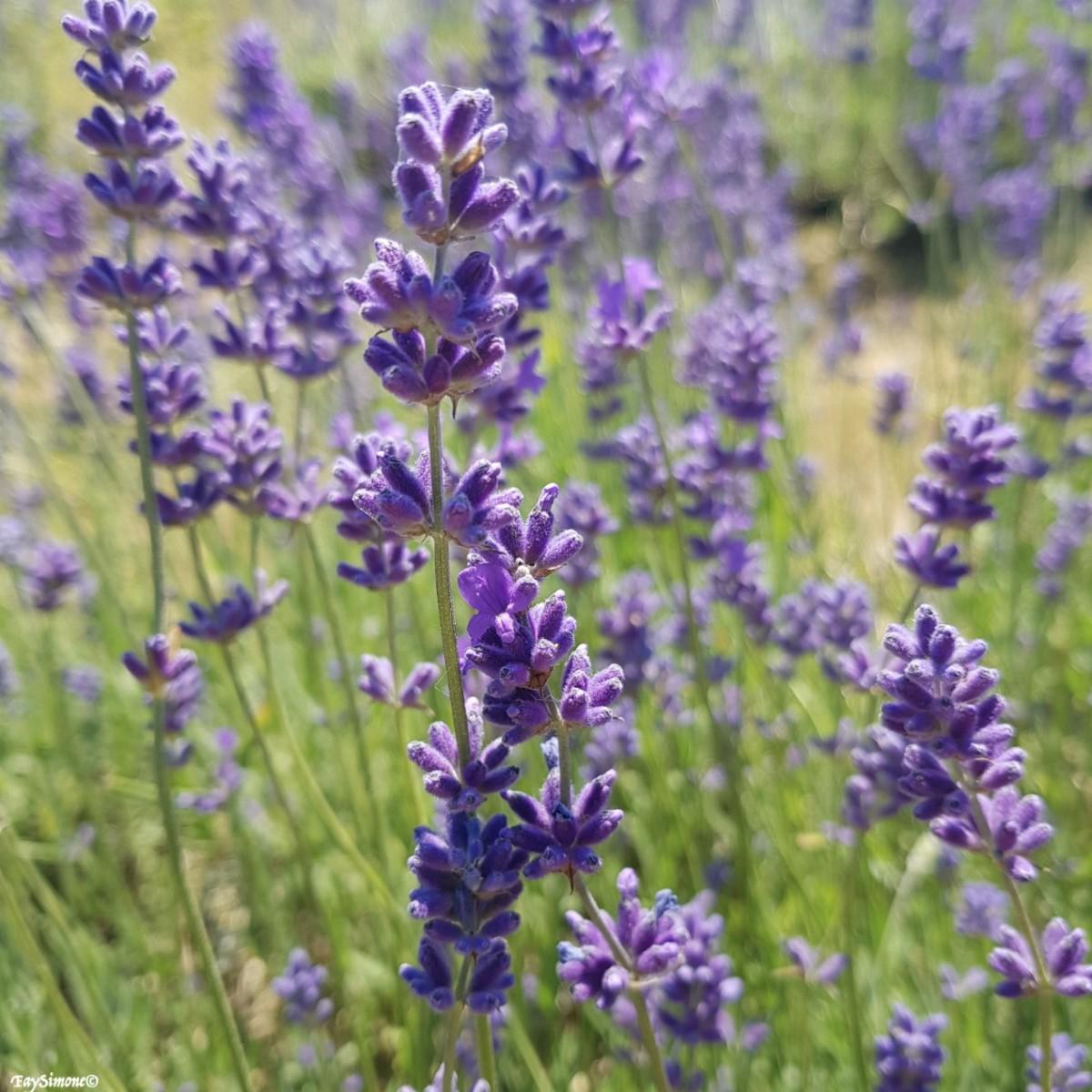 Blogging, Blog, Lifestyle, Fay Simone, Blogger, Mayfield Lavender Fields, Lavender Fields