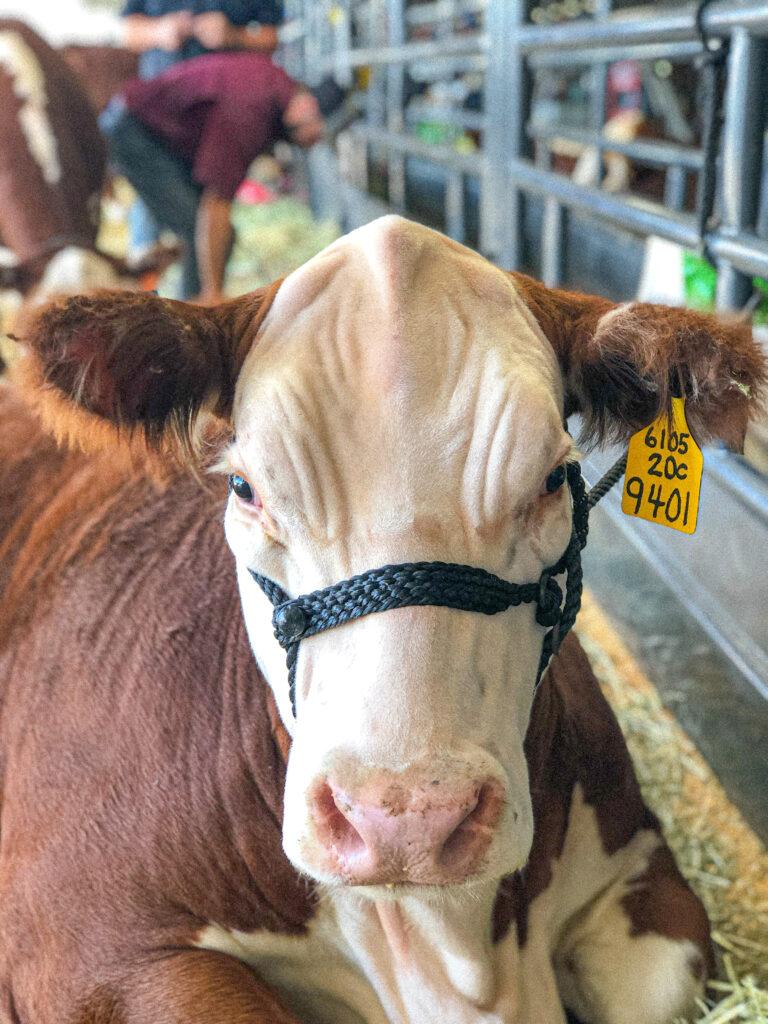the prettiest cow!