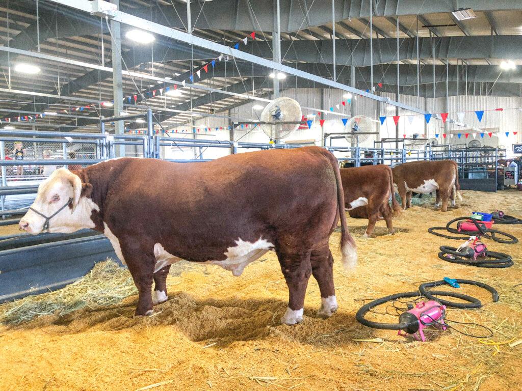cattle in abilene tx