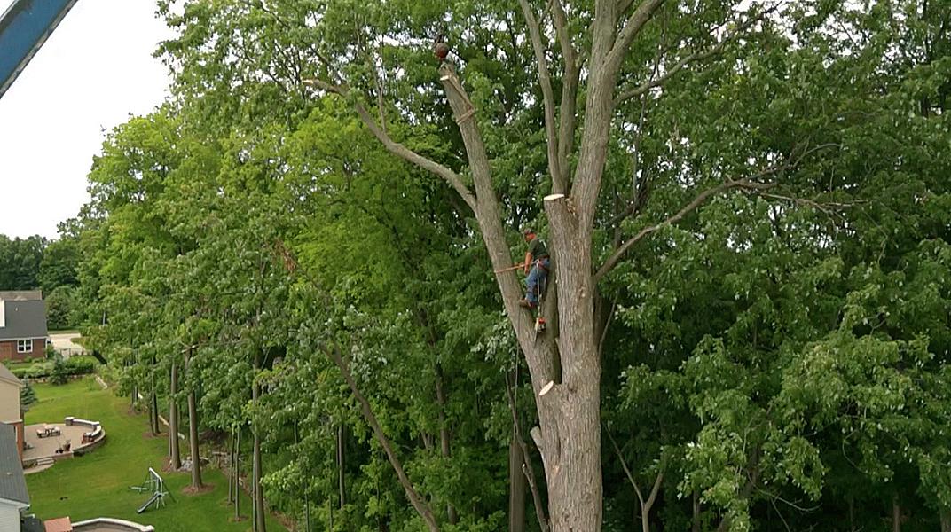 oaklandtreeservicemarkclimbing2