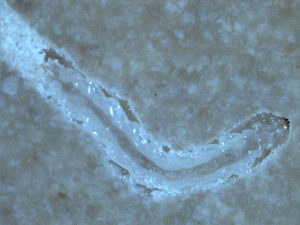 EAB larva in artificial diet